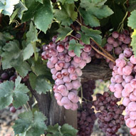 bunch of red grapes growing on a vine in a vineyard